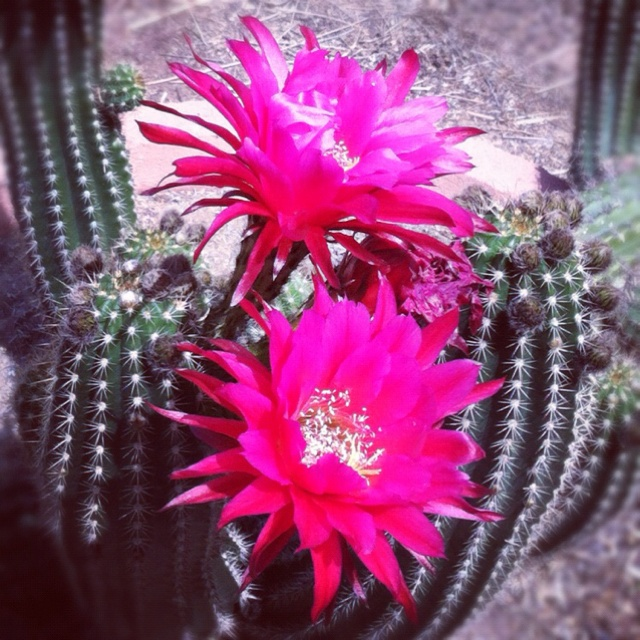 night blooming cereus care instructions