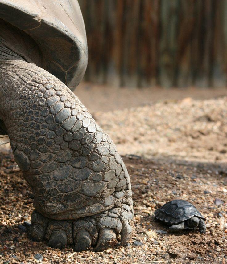 TortoisesMothers, 10 Years, Baby Tortoies, Galapagos Islands, Zoos, Islands Vacations, Vacations Travel, Baby Turtles, Animal