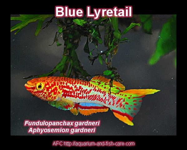 Blue Lyretail or Steel-Blue Aphiosemion Freshwater Aquarium Fish ...