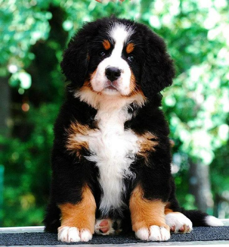 The cutest - #BerneseMountain #Dog  http://www.bigbarker.com/