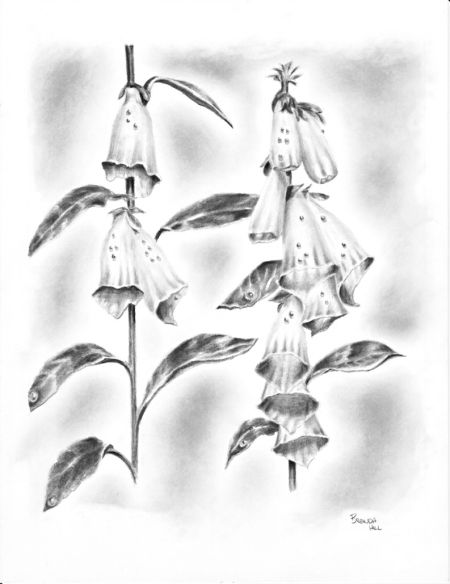Refreshing Foxglove graphite drawing Brenda Hill