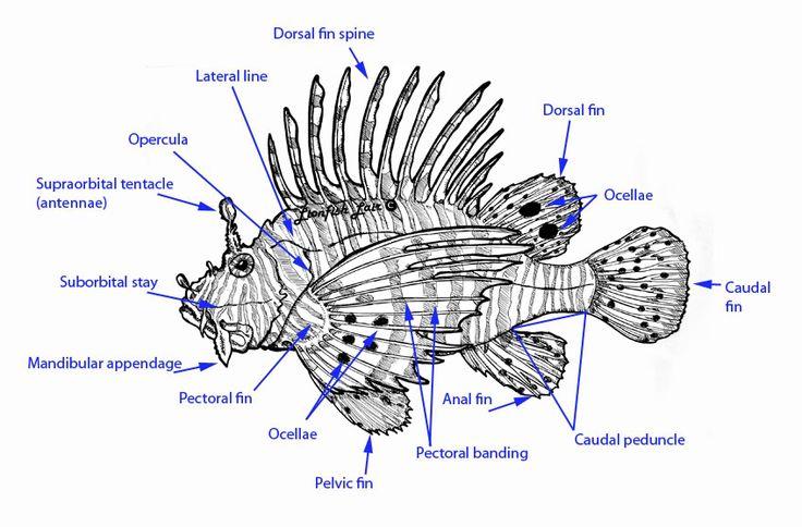 Lionfish Diagram Google Search Papermaking Pinterest