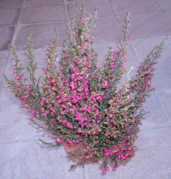 17 migliori immagini su piante coltivazione rimedi - Gardenia pianta da interno o esterno ...