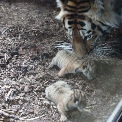 Se live kamera | Fire tigerunger født 17. mai | Nyheter | Dyreparken