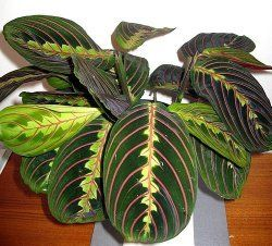 Prayer Plant earned its name because of the way its leaves fold together at night, like hands closed in prayer. Find a profile, picture and care tips here.