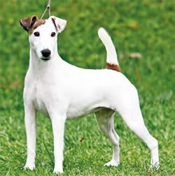 how to draw a fox terrier