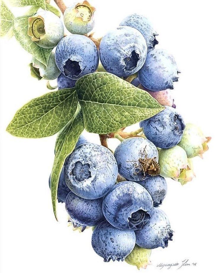 "Watercolor blueberries. Watercolor illustrations  (@watercolor.illustrations) on Instagram: "" Watercolorist: @tinomjk  #waterblog #акварель #aquarelle #drawing #art #artist #artwork #painting…"""