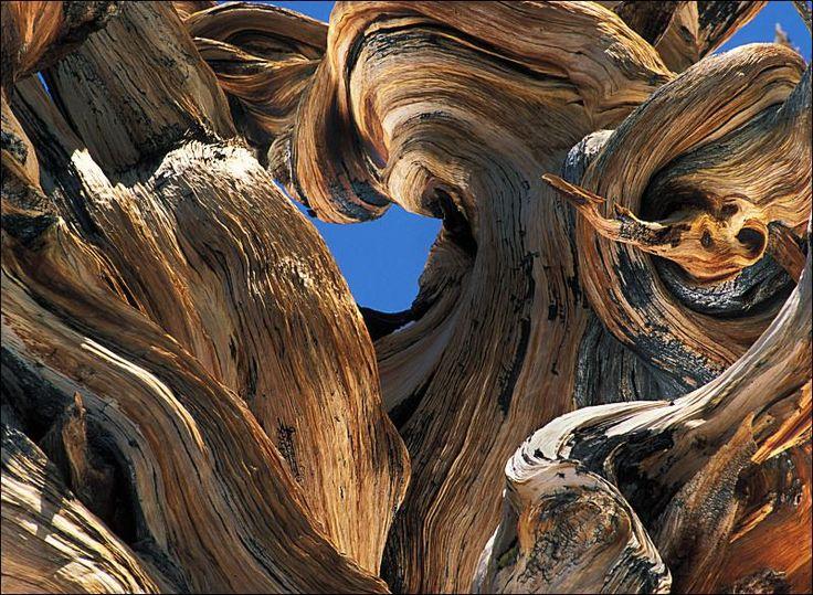 Methuselah - world's oldest living tree