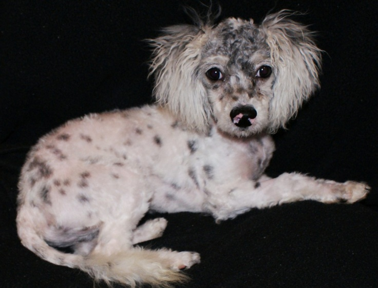 """CALIFORNIA """"Fezzik"""" is available for adoption at Pets"""