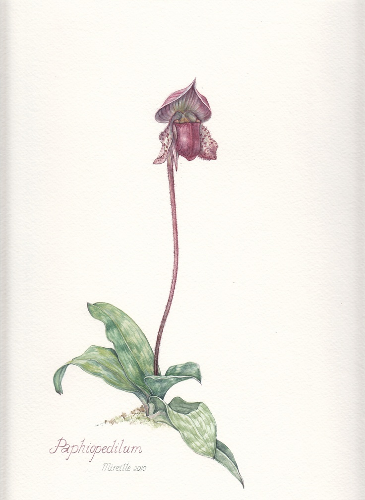 Ladyslipper, watercolor by Mireille Belajonas, 2010