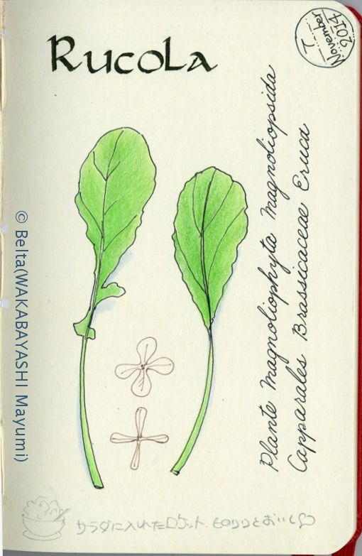 rucola_2014_11_09_01_s rucola! love!  for this drawing I used :  Faber-Castell Polychromos  Moleskine sketchbook  © Belta(WAKABAYASHI Mayumi)