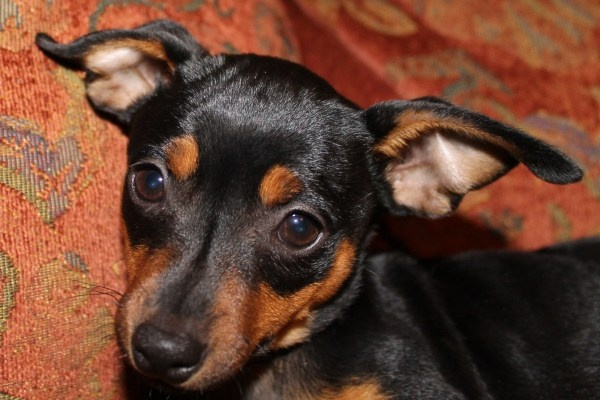 Miniature Pinscher pups 8 weeks, ready to go!  black & rust: Min Pin