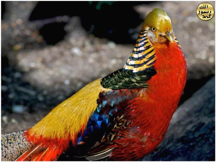 Sülünler dünyânın en süslü kuşlarındandır. Tüyleri çeşitli mâdenî parıltılı renkli olur.