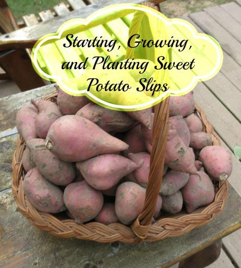 """""""Like other potatoes, the sweet potato doesn't make seeds, but is instead propagated. Other potatoes like, white potatoes, are tubers which put off sprouts from their eyes; but the sweet potato is a true root plant and has no eyes."""" http://www.simplycanning.com/growing-sweet-potato-slips.html?utm_content=buffer17b57&utm_medium=social&utm_source=facebook.com&utm_campaign=buffer"""