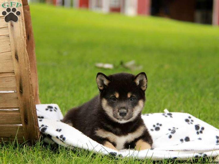Shiba Inu puppy DOB 5/9/15 $800