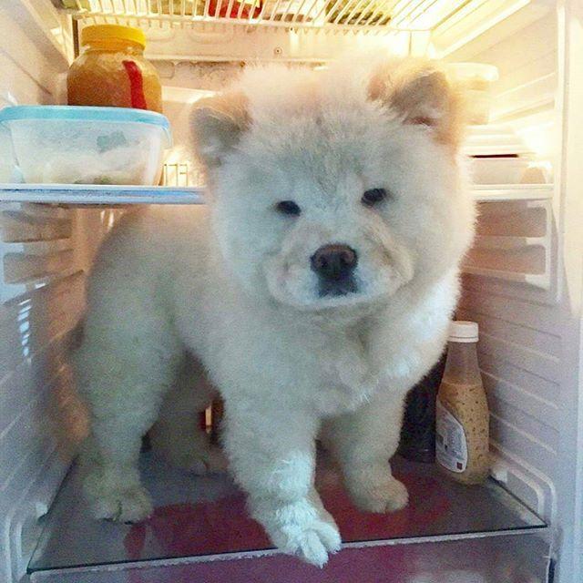 💞😀💞 PHoTo : @iamchinothebeardog 💞😀💞 #animals #animal #pets #pet #dogsofinstagram #dog #puppy #instapuppy #puppies #woof #fluffy #paws #cachorro #perro #собака #щенок #anjing #baby #hound #teddybear #love #yavru #babyanimals #funny #chowchow  #chowchowpuppy #강아지 #ペット #犬 #개  _____________________________ MY SPESIAL CHOW FRIENDS :  @SDSTaSiuK @DIGSBY_N_CiNDeReLLa_THe_CHoWS  @KHePeLKHaN.CHoWCHoW  TaG YouR FRieNDs :👇👥👇