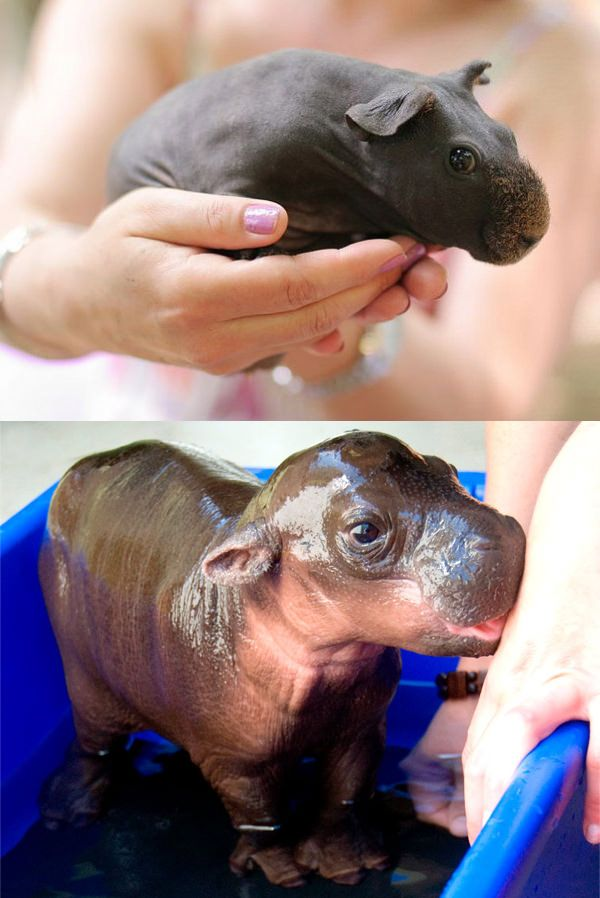 If you shave a guinea pig it looks like a baby hippo.