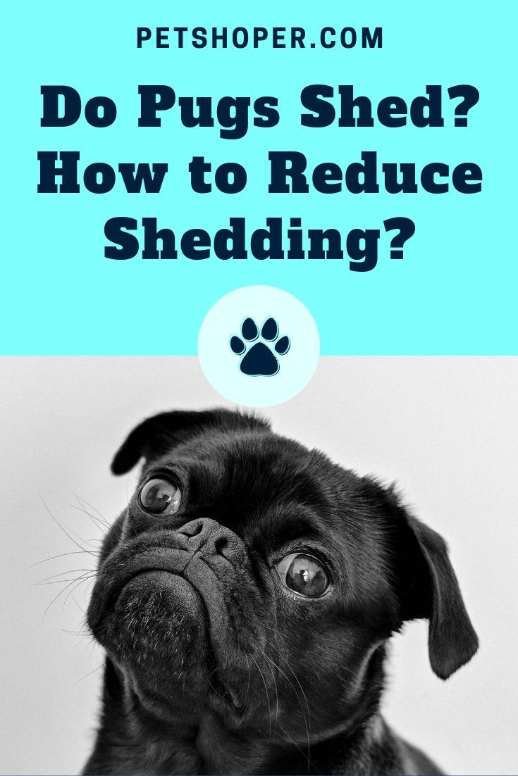 Do Pugs Shed How To Reduce Pug Shedding Tips Do Pugs Shed