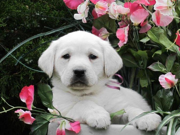 my new dream dog... white labs