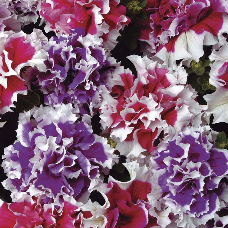 Petunia 'Orchid Picotee Mixed' F1 Hybrid - Annual Plant