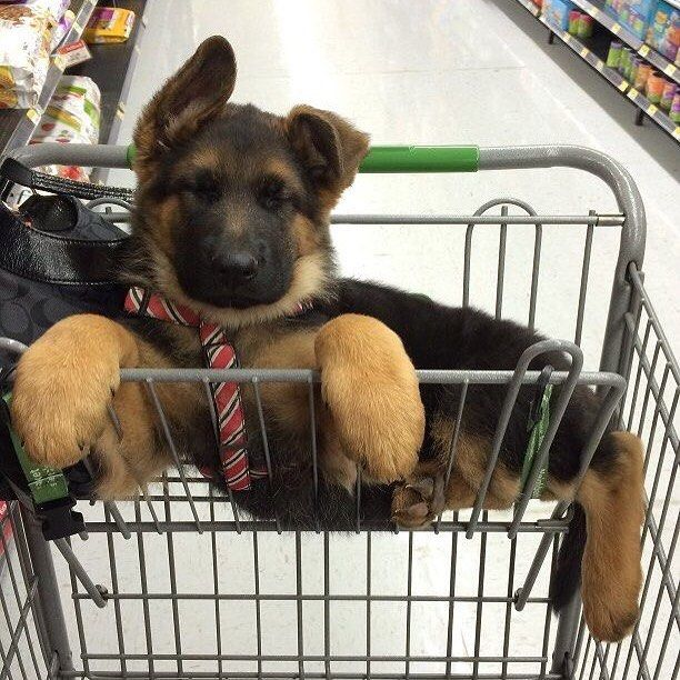 You know what they say about guys with big paws... #puppylove #ladiesman #toosexyforthiscart #dogsrule #dogstagram #dogsoffreedom #bigpaws #dogsofinstagram