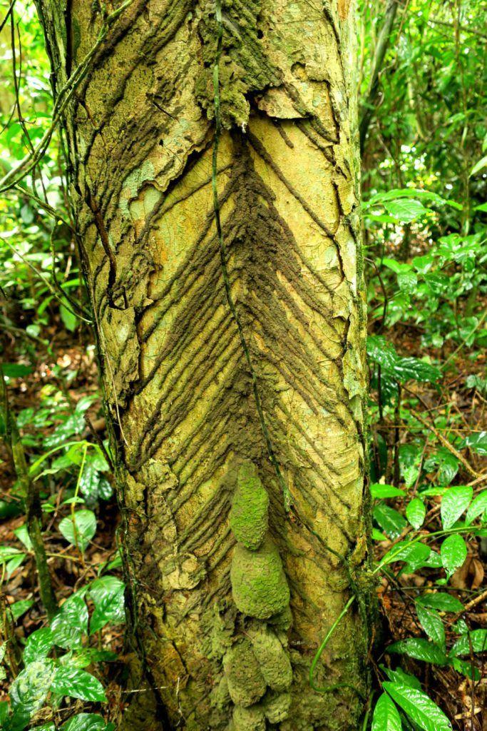 Termiten Muster an Regenwald Baum, Taï Nationalpark