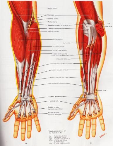 "Golfers Elbow Muscle Group picture used from ""Principles of Anatomy and Physiology"" - Sixth Edition. By G.J. Tortora and N.P. Anagnostakos. Published by Harper & Row - 1990"