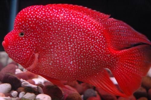 Red Texas (Herichthys x Amphilophus) Masterpiece, Exceptional depth of color and pearling.