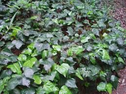 Image result for canary island ivy