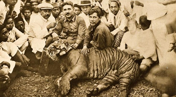 Javan Tiger | the Javan Tiger, once inhabited the island of Java.  Declared extinct in 1979.  In the 1800s, the tigers were abundant in Java.  Only 20 remained by the 1950s.