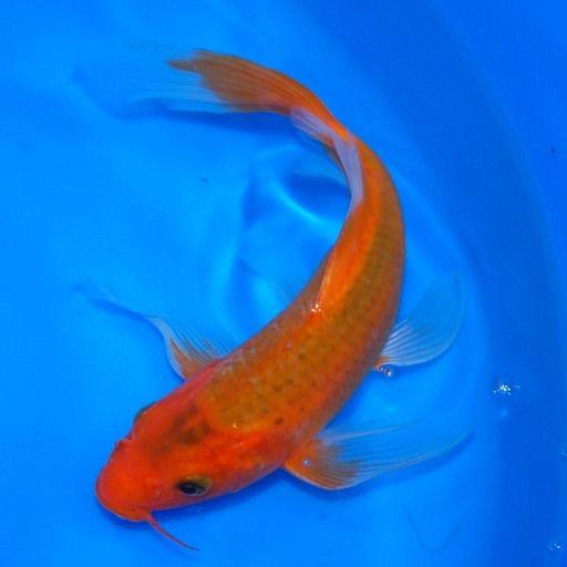 Hi asagi butterfly koi my koi pinterest butterfly for Asagi koi fish