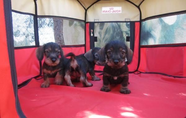 Teckels cachorros de pelo duro color jabali y corto color arena - ESPAÑA - QUICK Anuncio