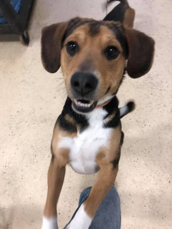 Larry Adoptable Dog Young Male Beagle Black And Tan Coonhound