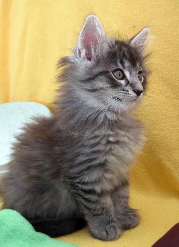 Max - a Norwegian Forest Cat