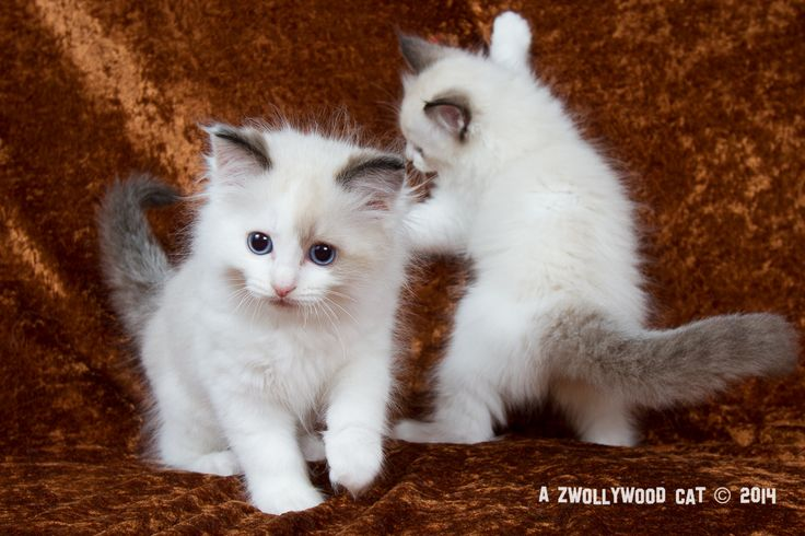 2014: Lightning A Zwollywood Cat (Fillmore in the background). 9 Weeks old Ragdoll kittens, seal bicolour. Cars litter.