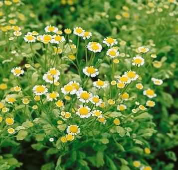 feverfew perennial herb 18 in tall used for fever menstrual cramps vegetable seeds for saleveg