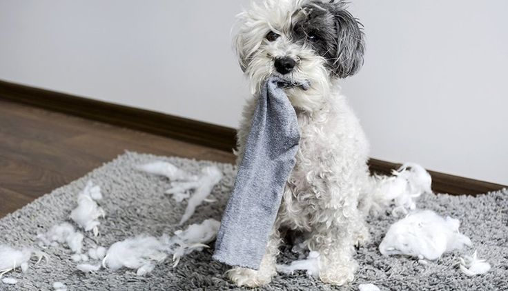 Having Your Socks Chewed On By Your Best Friend Can Be Frustrating Read About What You Can Do To Keep Your Dog From Poodle Dog Dog Socks Dog Training Classes