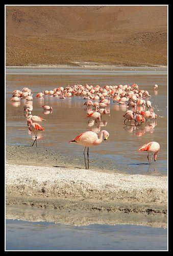 Flamingos-Laguna Colorada-Uyuni-Bolivia
