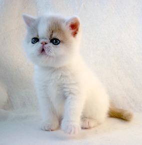 cream van Exotic shorthaired Persian kitten