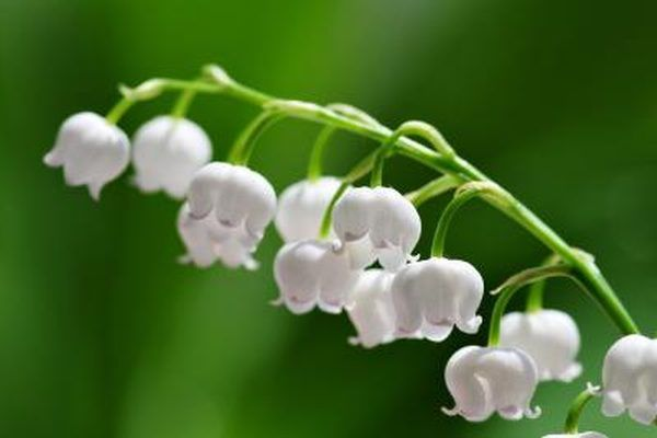 Lily of the Valley thrives in acidic soil.