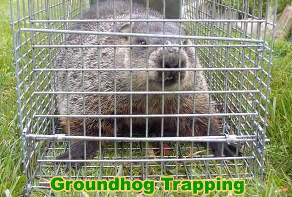 How to Keep Groundhogs Away from Your Yard, Garden, Shed