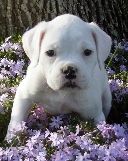 White Boxer <3
