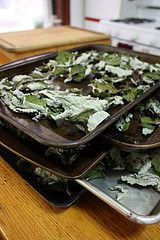 Drying raspberry leaves for tea. Lots of medicinal uses. No instructions just