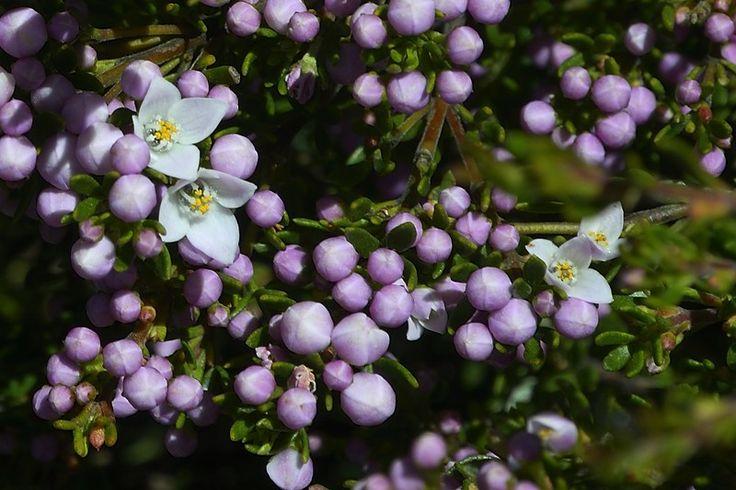 Boronia citriodora, Lemon-scented Boronia - Size: 0.5-1m H x 0.5-1.5m W Flowering Time: Spring/summer Habitat/distribution: Moist, well drained