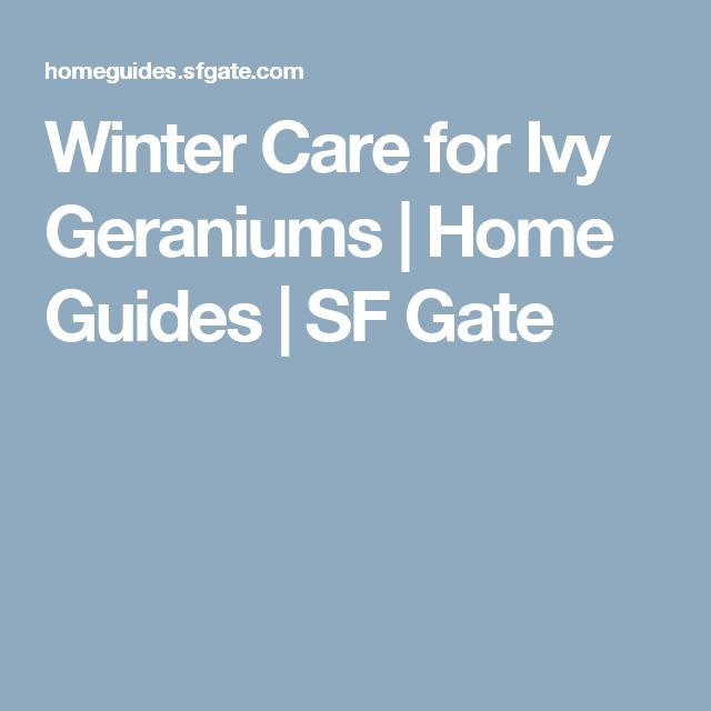 1000 ideas about geranium care on pinterest geraniums overwintering and scented geranium - How to care for ivy geranium ...