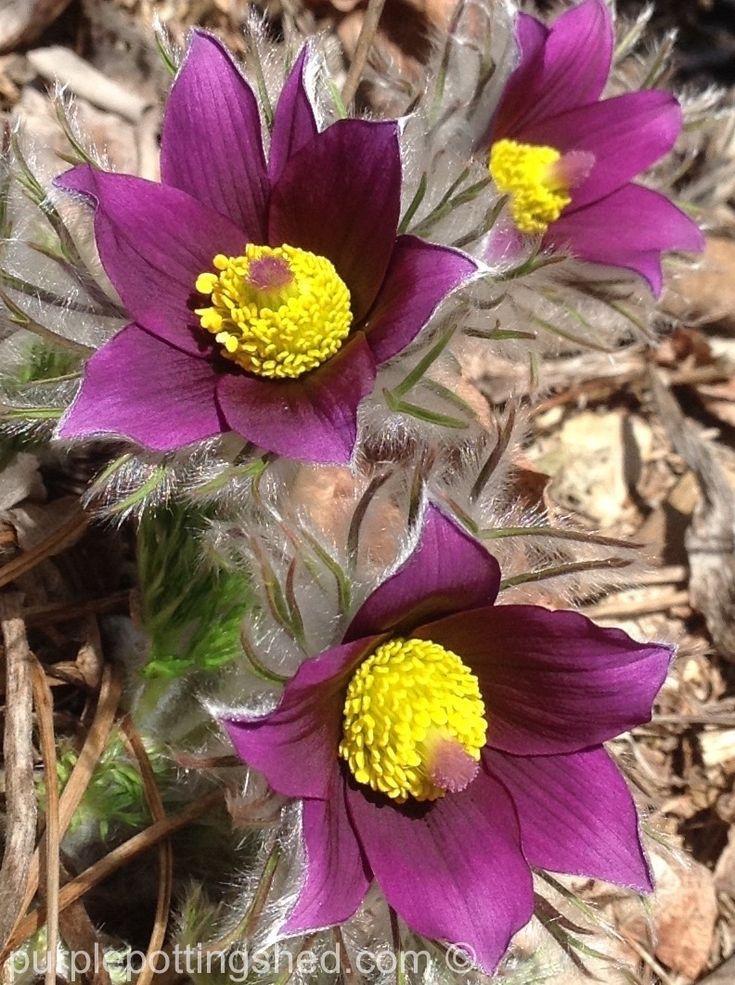 Beloved pasque flowers heralding spring!  www.purplepottingshed.com