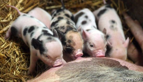 "This whole fad on ""mini/teacup piglets"" is ridiculous. They only last about 3-4 years. I would much rather have a male and female piggy and that way if i really want a piglet I know I will see one. Eh thats just me. BEWARE and do your research guys."