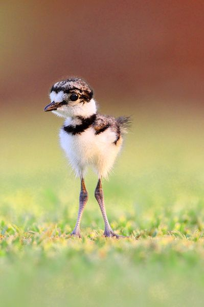 Baby Killdeer by Jude Haase A killdeer is a North American shorebird you can see without going to the beach, Killdeer are graceful plovers common to lawns, golf courses, athletic fields, and parking lots. These tawny birds run across the ground in spurts, stopping with a jolt every so often to check their progress, or to see if they've startled up any insect prey.