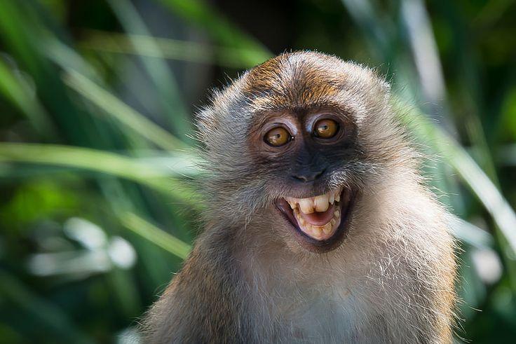 Macaca fascicularis, Crab-eating macaque - Tarutao National Marine Park | por Rushen!