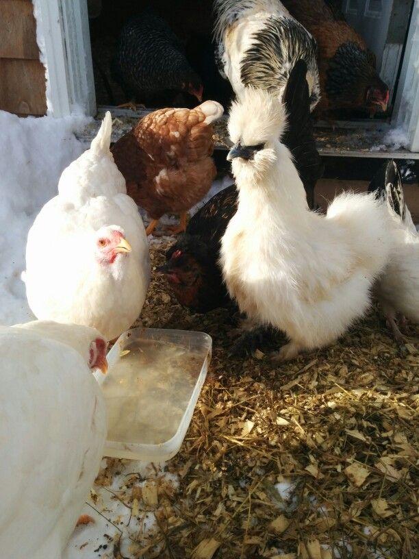 Nice shot on silky hen drinking